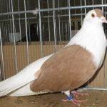 vilnius pigeons