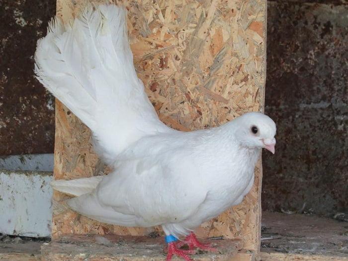 white pigeons - tumbler pigeosn