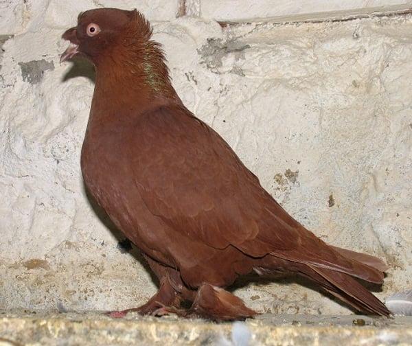 demkesh - türk güvercinleri - kırmızı güvercin