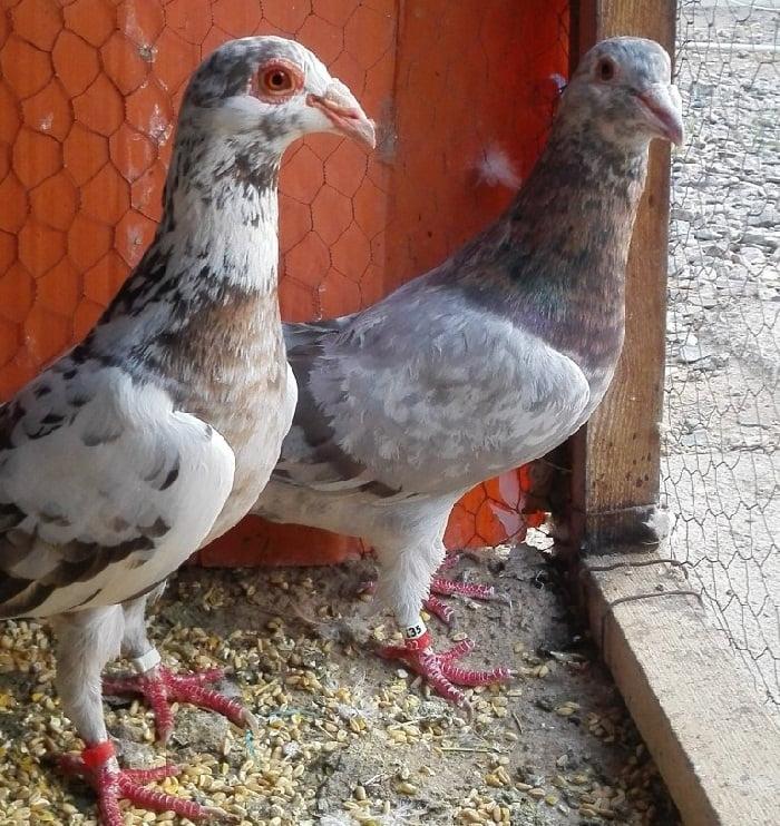 bagdadi pigeons - warzentauben