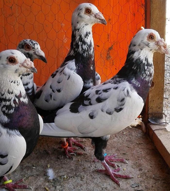 turkish pigeons