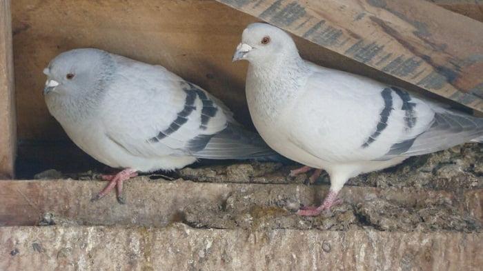 blue pigeons - tumbler pigeons