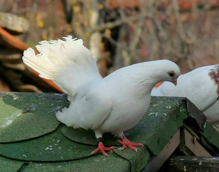 dove white- bulgarian - tyumbler
