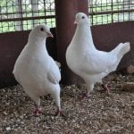 chicken - pigeons