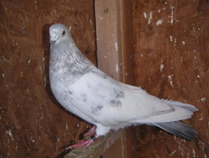 tippler pigeons
