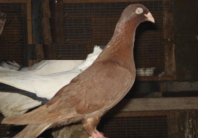 bulgar - red - pigeons
