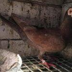 Pigeon caroncule