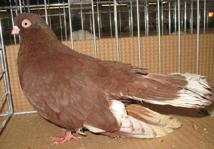 kauna pigeons