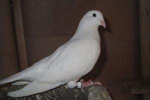bulgarian breeds