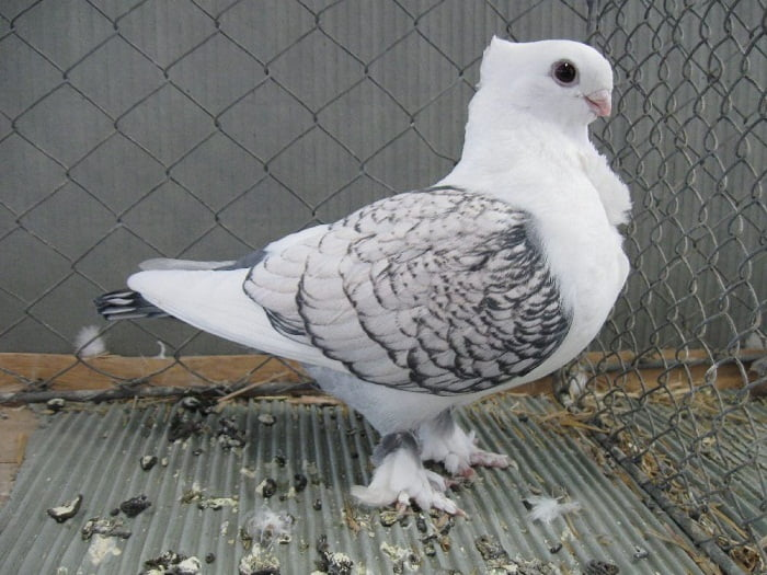 ornamental pigeons