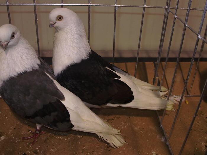 high flyer pigeon