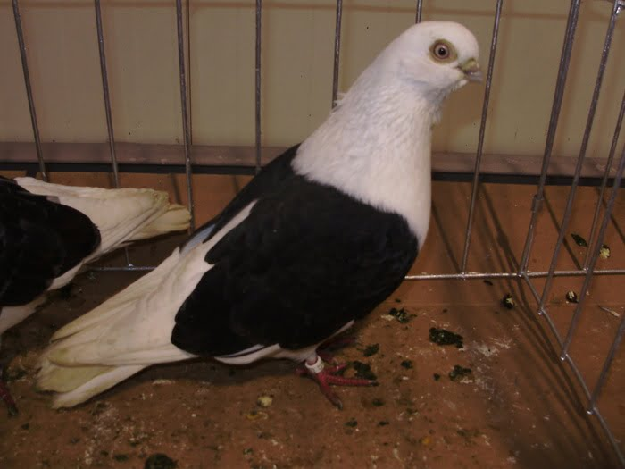 tumbler pigeons for sale