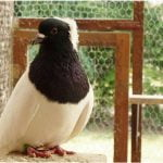pigeon types