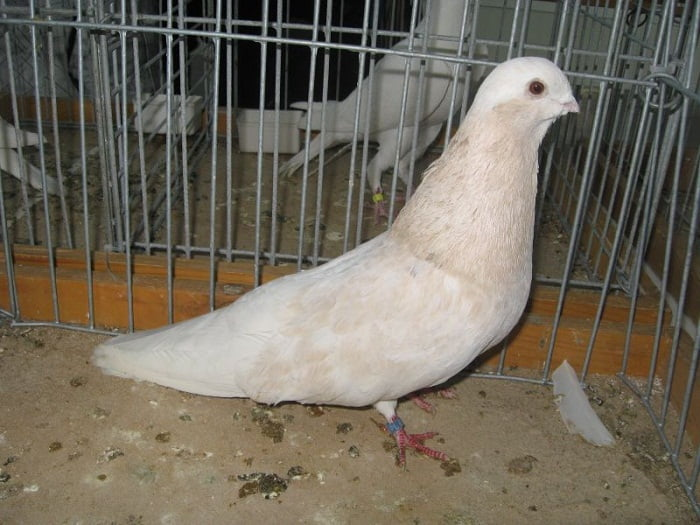 asfer syrian - pigeons