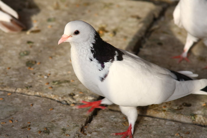 baku tumbler pigeons - russian