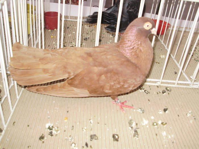 red tumbler pigeons