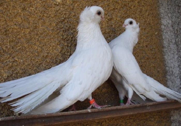 tumbler - roler pigeons