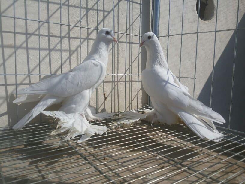 tumbler pigeons white tumbler