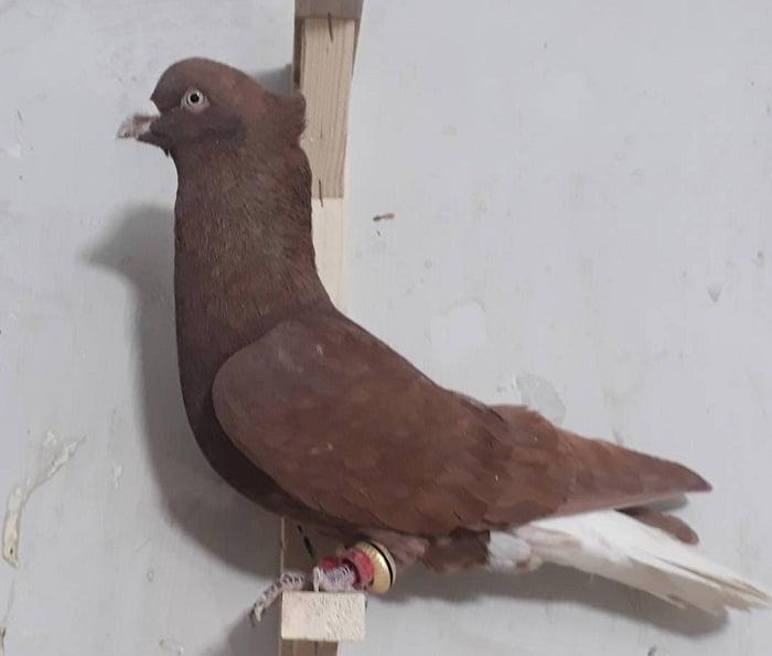 white tailed tumbler pigeons
