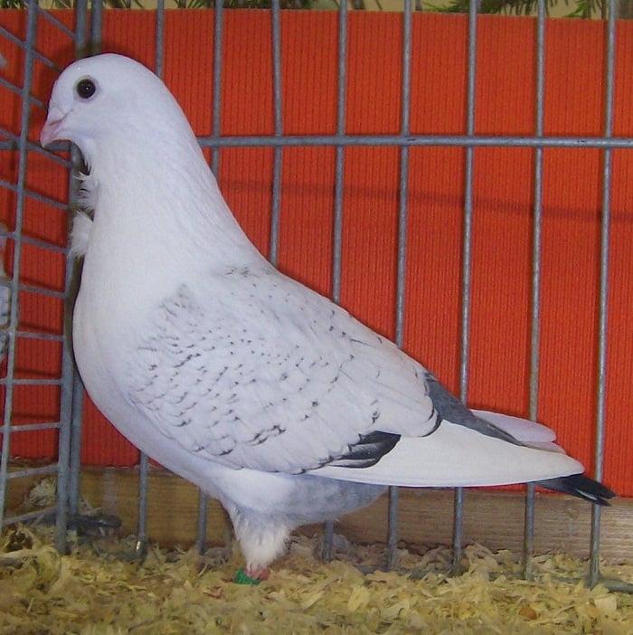 pigeons de cravate