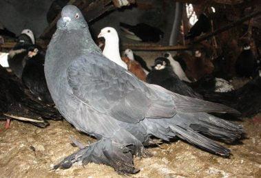 romanian pigeons - giant hen pigoens