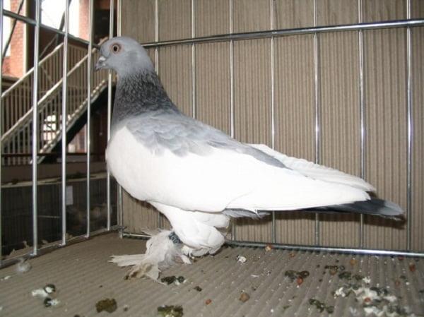 lotne - tumbler pigeons - high flyers