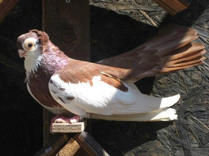 bulgarian pigeons