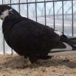 owl pigeons - videos