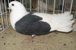 tumbler pigeons - polish - bilostok