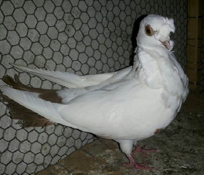 pigeons - fancy - chinese owl