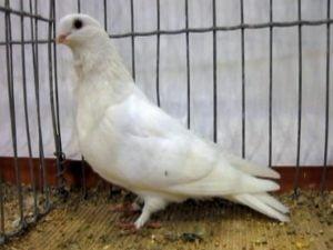 slovenian pigeons