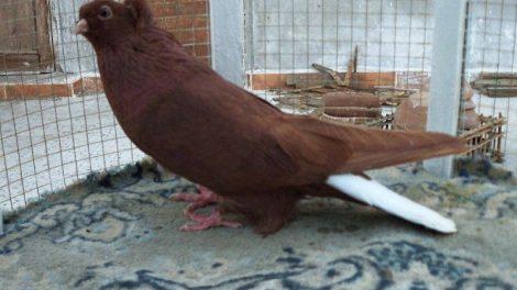pigeons breeds - syrian - halabi