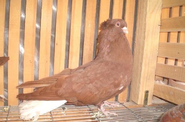 syrian pigeons tumbler