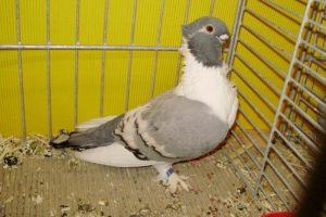 owl - pigeons - vizör