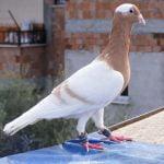breeds - dewlap - form pigeons