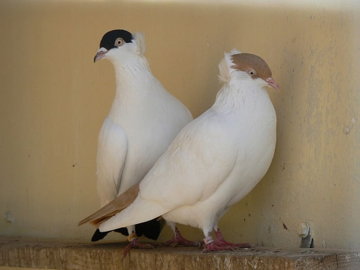 Moscow Monk - russian pigeons
