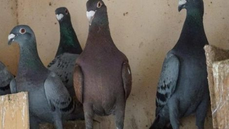 spanish homer pigeons - mallorca