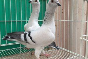 fillo pigeons - flying - damascane