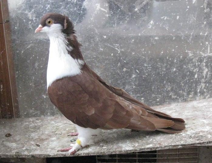 ufa pigeons - russian
