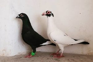bagdad - wattle pigeons