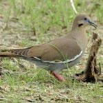 Zenaida asiatica - american dove