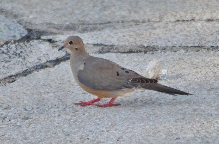 Zenaida aurita - american dove