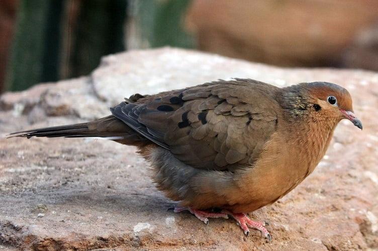 Zenaida graysoni - american dove