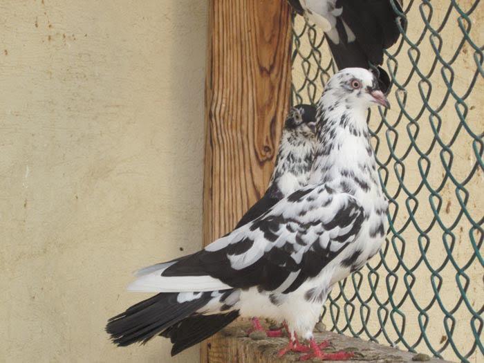 azerbaycan güvercinleri - baku chiliki