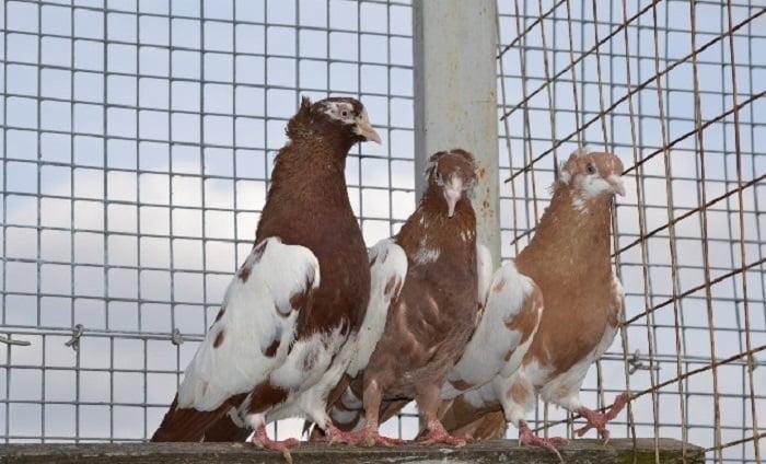 tumbler pigeons -bakinski