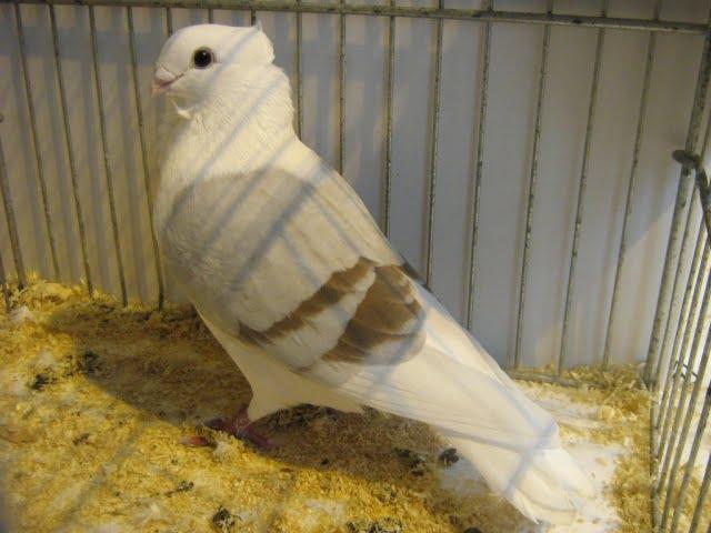 flanders smerle - owl pigeons