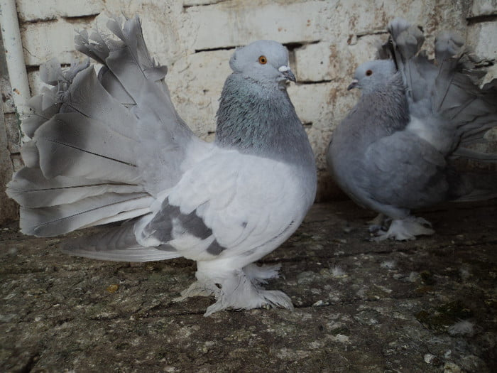 Indian Fantail - american fantail pigeons