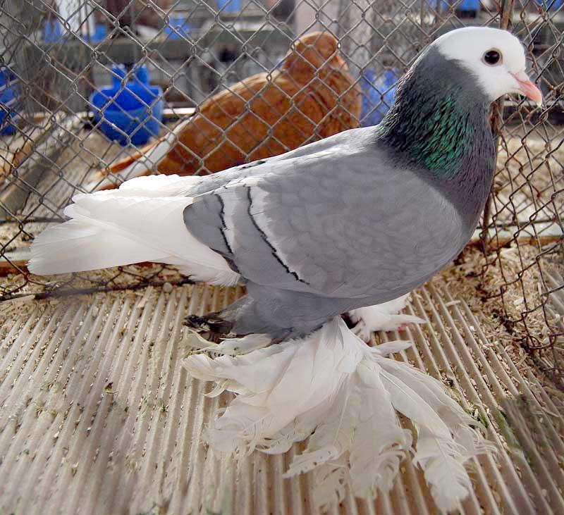 pigeons de couleur - saxon - pigeons - muffed pigeons