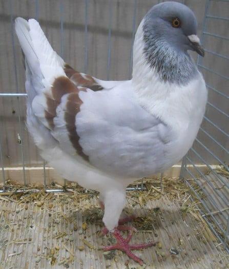Poule Florentin - pigeons
