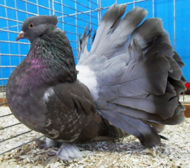 Queue de Paon Indien - structure pigeons